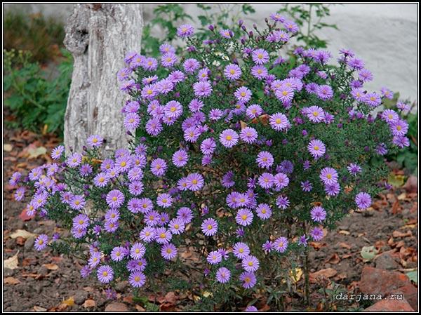 Многолетний кустарник с сиреневыми цветами
