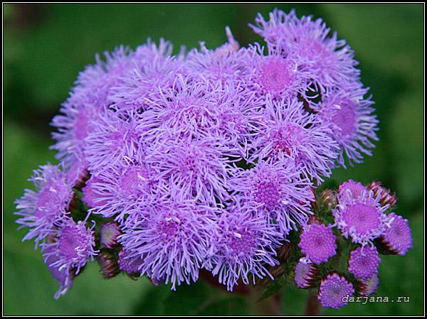 Внешний вид цветущего соцветия агератума мексиканского голубовато-фиолетового цвета - фотография крупный план, описание растения