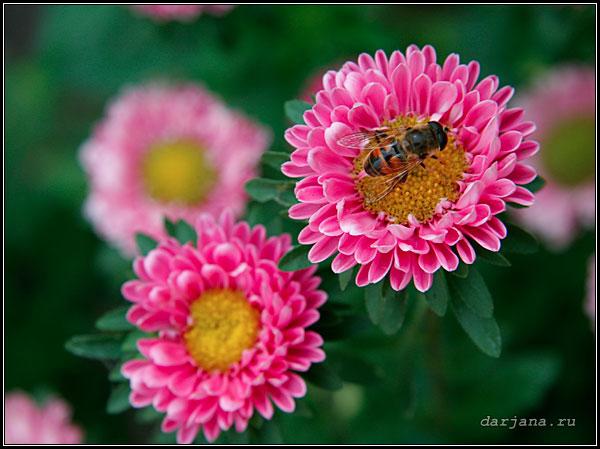 Фотография цветков астры однолетней, особенности выращивания, агротехника.