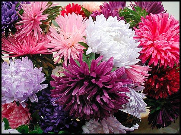 Фото - разнообразие расцветок соцветий астры однолетней.