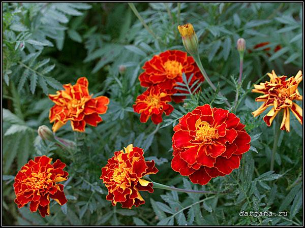 Фото бархатцев, внешний вид, описание, цветение, размножение, выращивание и уход