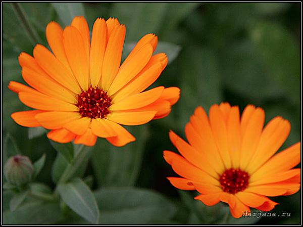 Цветки ноготков крупным планом, фото, предания и сказания о календуле лекарственной, происхождение названия растения ноготки.