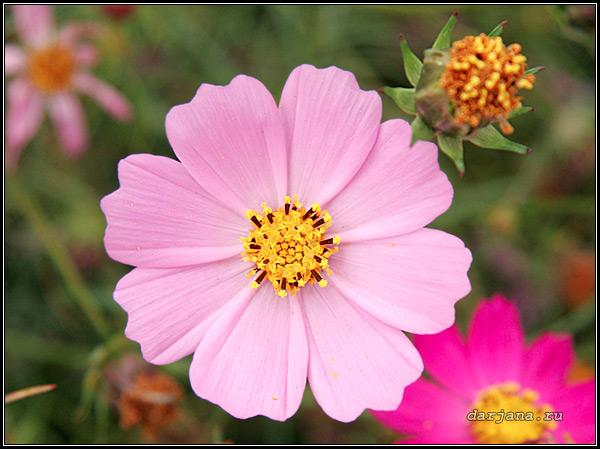 Фотография, цветок космеи и вызревшие семена крупным планом.