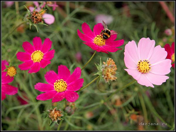 Происхождение названия растения космея, фото цветущей красотки, народные и старинные названия цветка.