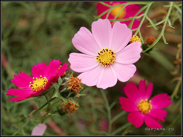 Фото однолетник космея, космос, красотка, описание растения, размножение, сроки цветения, декоративность, применение в цветоводстве.