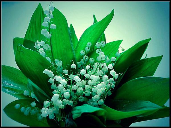 Фотография букет из майских ландышей, легенды, мифы, сказания, предания о ландышах, происхождение названия растения.