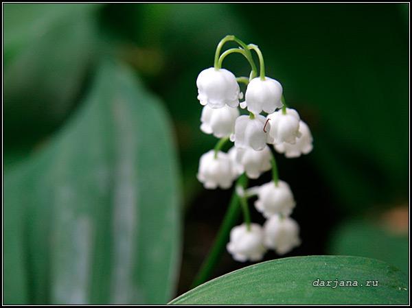 Фотография цветущего Ландыша майского, лекарственные свойства, настои и настойки из ландыша - рецепты.
