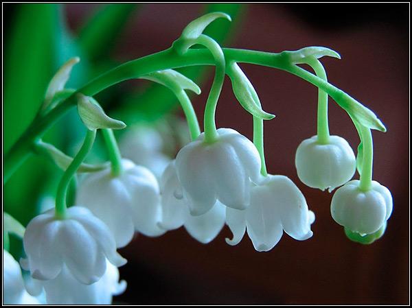 Фото цветы ландыша крупным планом, праздники ландышей у разных народов. Ландыш - как символ весны.