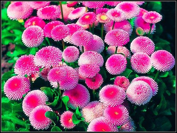 Фото цветущих маргариток, приёмы выращивание, уход, цветение, использование в цветниках.