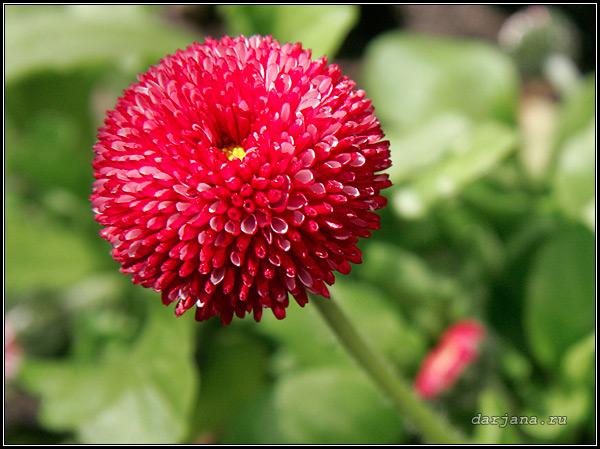 Фотография цветка маргаритки крупно, описание растения, биологические особенности, происхождение названия, использование в цветоводстве.
