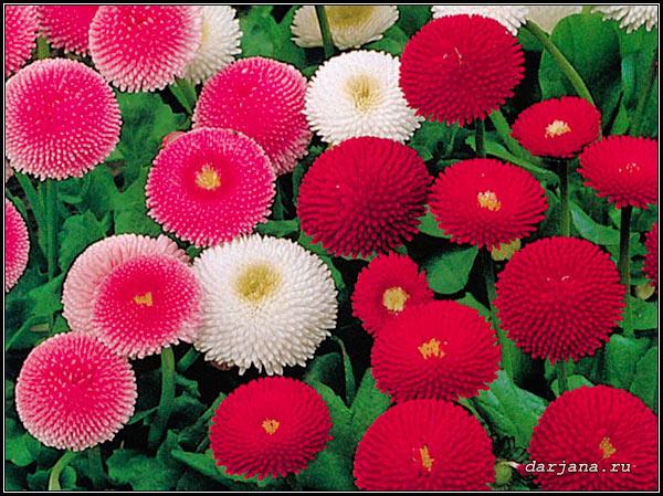 Фото маргариток, легенды и мифы о цветке, происхождение названия, перевод.