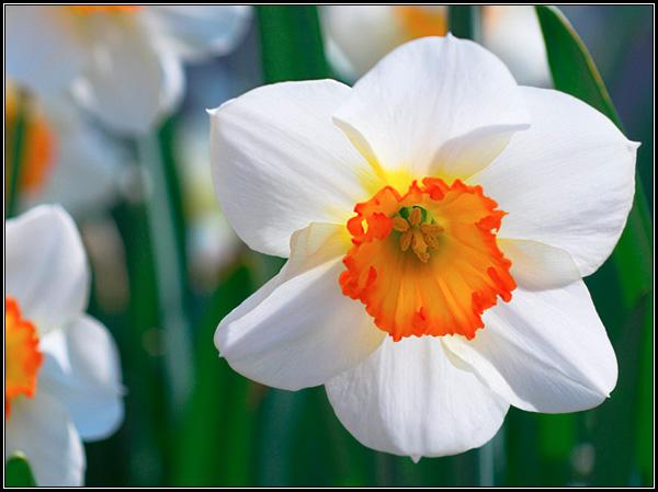 Фотография цветка белого нарцисса - весенние луковичные растения, мифы и легенды.
