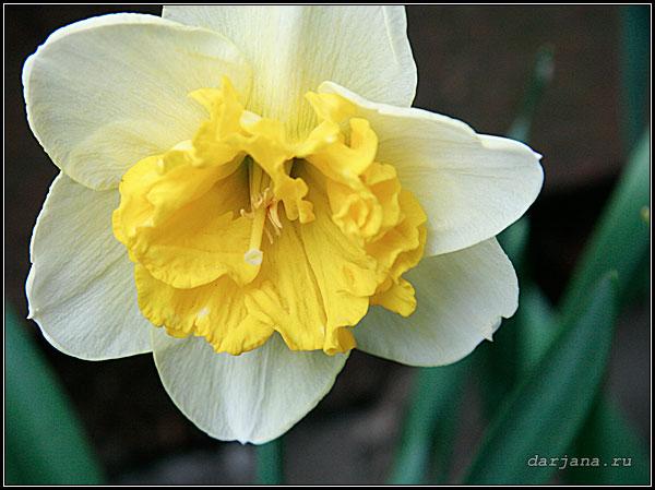 Крупный цветок нарцисса, сорт Керли, фотография, размножение нарциссов.