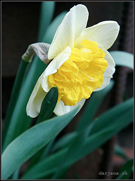Сортовой нарцисс Керли, фотография, классификация сортов нарцисса по цветкам.