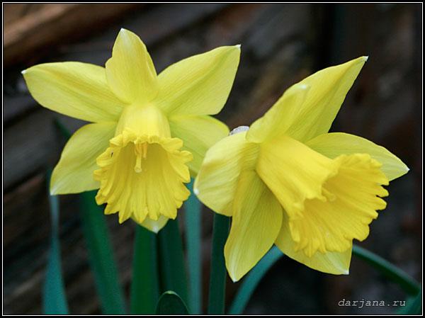 Фотография цветов Нарцисса - весенние луковичные растения.