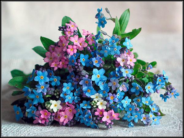 Фотография букета из голубых, розовых и белых незабудок, легенды, мифы, сказания, предания о незабудке, происхождение названия цветка - растения.