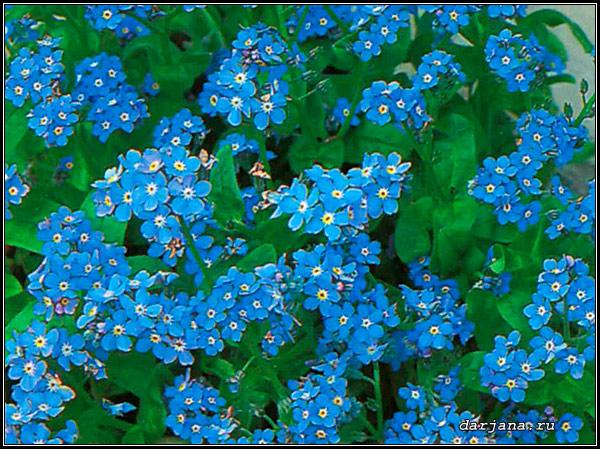 Фотография цветущей голубой весенней незабудки Помпадур, описание растения, размножение, агротехника
