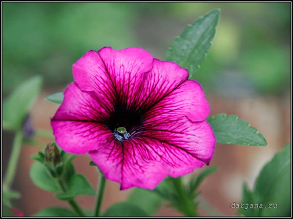 Фотография петунии гибридной многоцветковой, цветок крупным планом.