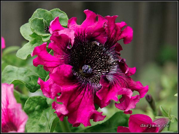 Фотография петунии гибридной крупноцветковой бахромчатой, черенкование петуний.