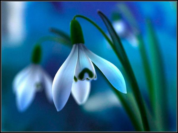 Фотография белого подснежника - галантуса, легенды и мифы, предания и сказания о цветке, происхождение названия, перевод.