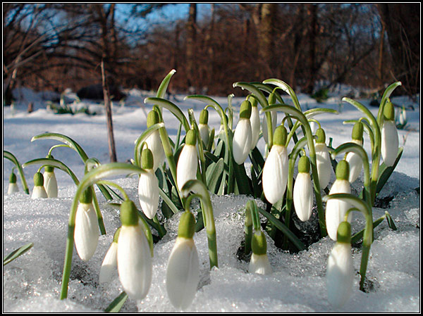 Фото, подснежники в зимнем лесу под снегом