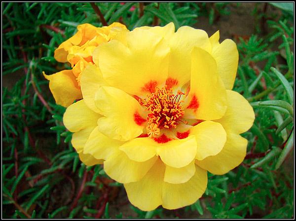 Фотография цветка портулака крупным планом, размножение растения, выращивание, уход, цветение.