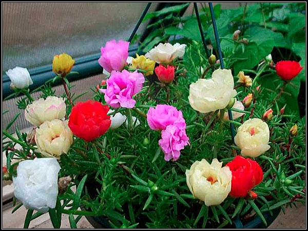Фотография цветов портулака разнообразных окрасок.