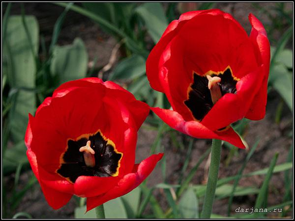 Фото ранне-весенних простых красных тюльпанов, описание растения, хранение луковиц