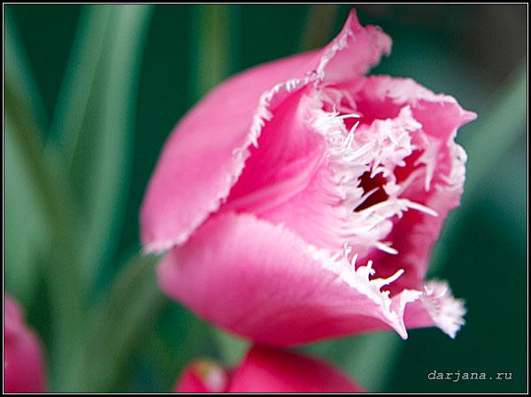 Фото розового тюльпана с белыми бахромчатыми краями, сроки посадки и уход за тюльпанами, агротехника