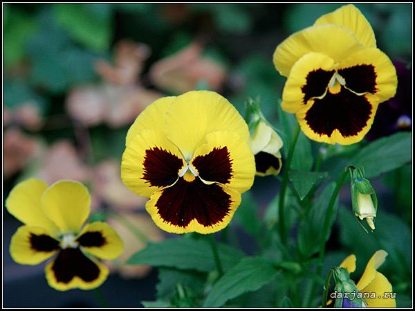 Фотография анютиных глазок, легенды, мифы, сказания, предания об анютиных глазках - виоле или фиалке трёхцветной, происхождение названия растения.