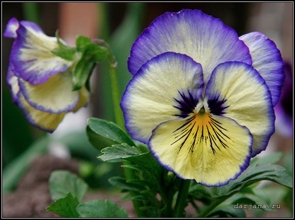 Фото виолы, лекарственные свойства фиалки трехцветной, как собирать траву фиалок для лекарств.