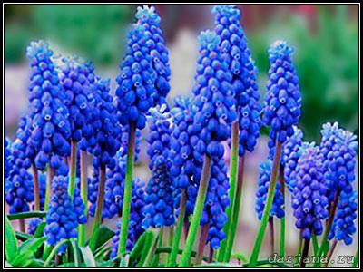 Растение Мышиный гиацинт - Гадючий лук - Мускари фотография цветов