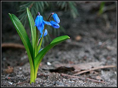 фотография Сциллы - голубая пролеска первоцветы