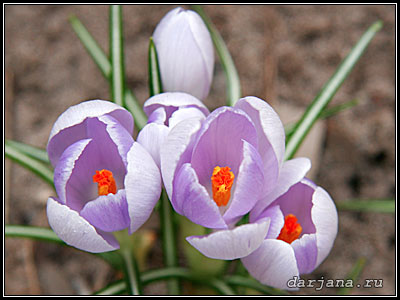 Фотография светло-сиреневый Крокус Шафран - весенние первоцветы