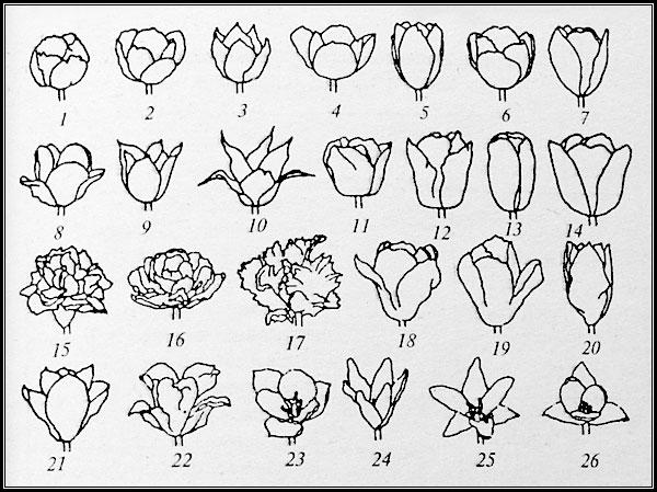 Основные типы и формы цветка тюльпана, схематичное изображение - рисунок.