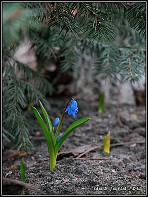 фото голубой подснежник - пролеска под елью