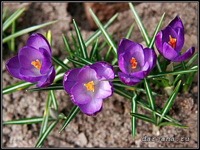 Сиреневый весенний цветок - крокус шафран - первоцветы