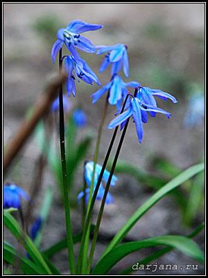 первоцветы - символ весны, фото пролески - Сциллы - голубой подснежник